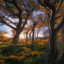 forest, patagonia, autumn, fall, wind, trees, gnarled