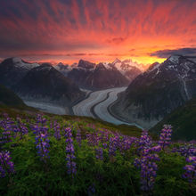 alaska, garden, spring, lupine, flowers, glacier, coast mountains