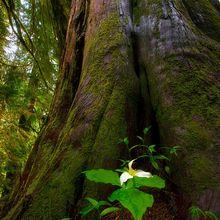 Quinault, Rainforest, Trillium, Cedar