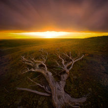 old, tree, windswept, montana, plateau