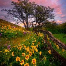 Columbia Hills, Washington, Wildflower, Flower, Balsamroot, Sunset, Beautiful