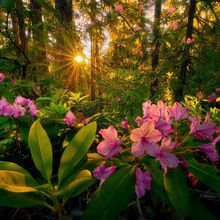 rhododendron, Cascade, Mountain, Oregon, Forest, Sunset