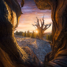 white mountains, bristlecones, pine, old, ancient, tree, gnarled, bark, wood, california, marc adamus, unique, sunset