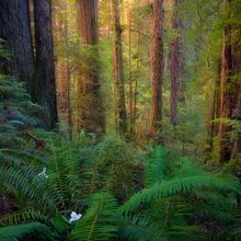 california, del norte, redwood, state park, ancient, old-growth, forest, morning