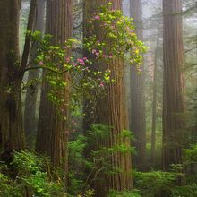 Redwood, Rhodedendron, Fog, Forest, Old-Growth, California