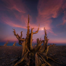 Bristlecone, oldest, tree, moon, sunset, remote, unique, white mountains, tres plumas