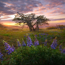 lupine, wildflowers, washington, columbia hills, may, sunrise