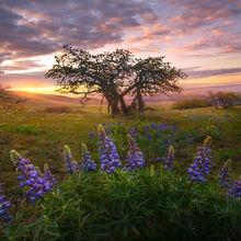 lupine, wildflowers, washington, columbia hills, may, sunrise