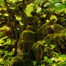 Hoh, Rainforest, Washington, Maple, Mosses, Moss