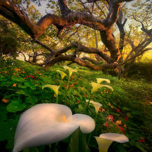 eucalyptus, california, lilies, coast, sunset, forest