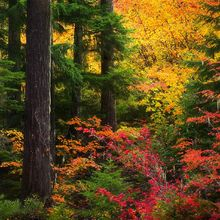 autumn, fall, wilderness, old growth, fir, vine maple, oregon