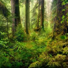 Misty, rainy, olympic, rainforest