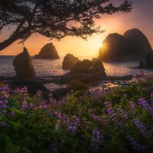 spring, blossom, coast, Oregon, lupine, wildflowers, sunset