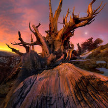 ancient, bristlecone, califorina, white mountains, sunrise
