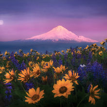 washington, columbia hills, wildflower, mount hood