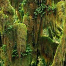 Lush, Moss, Maple, Olympic, Hoh, Rainforest, Washington