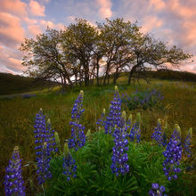Lupine, Wildflowers, Sunrise, Washington, Columbia Hills