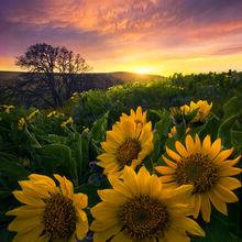 sunset, balsamroot, flower, fields, hills, washington, columbia