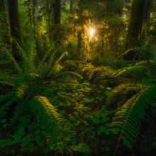 Rain Forest, Washington, Olympic, mosses, ferns, trees, forest