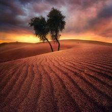 Lone, Trees, Endless, Sand, United Arab Emirates