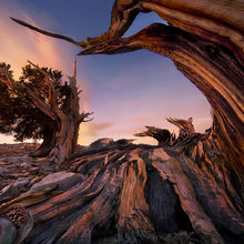 Bristlecone, Pine, White Mountains