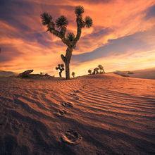 Dunes, sand, Joshua tree, coyote, tracks, desert