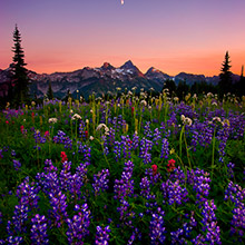lush, fields, wildflowers, mountain, peaks, tatoosh range, twilight, rainier, national park, washing
