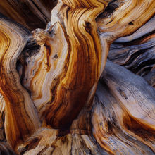 Bristlecone, Pine, White Mountains, old, gnarled, bark, tree, trunk