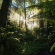 Olympic, Rainforest,washington, quinault,beams,sunbeam,rays,ferns,fern