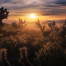 Mojave, Cactus, Joshua Tree, Sunset, Desert, California