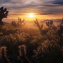 Mojave, Cactus, Joshua Tree, Sunset, Desert, California