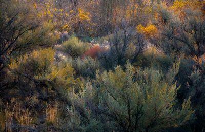 Autumn Sage (2008)