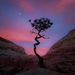 Utah, Lone tree, sandstone, colorado plateau, gnarled, moonrise, twilight