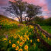 Columbia Hills, Washington, Wildflower, Flower, Balsamroot, Sunset, Beautiful