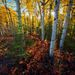 Autumn, Colors, forest, dawson city, yukon