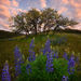 Lupine, Wildflowers, Sunrise, Washington, Columbia Hills