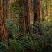 old growth, redwood, trees, lady bird johnson, california, sunset