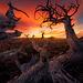 Whitebark, Pine, Montana, Plateau, Gnarled, Old, Sunrise, Rich