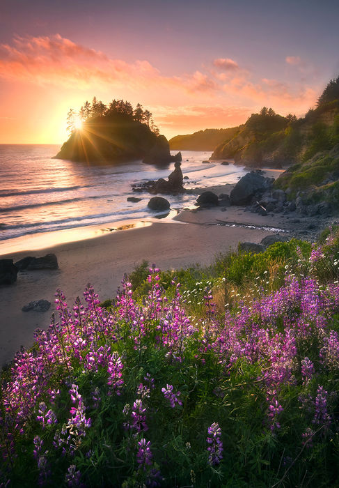 lupine, flowers, sunset, sea stacks, beaches, california, coast, photo