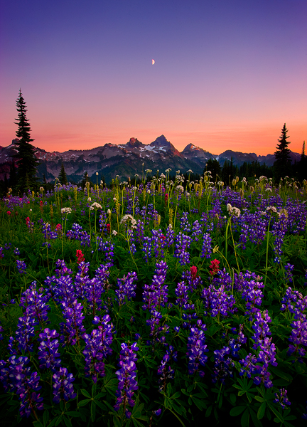 lush, fields, wildflowers, mountain, peaks, tatoosh range, twilight, rainier, national park, washing, photo