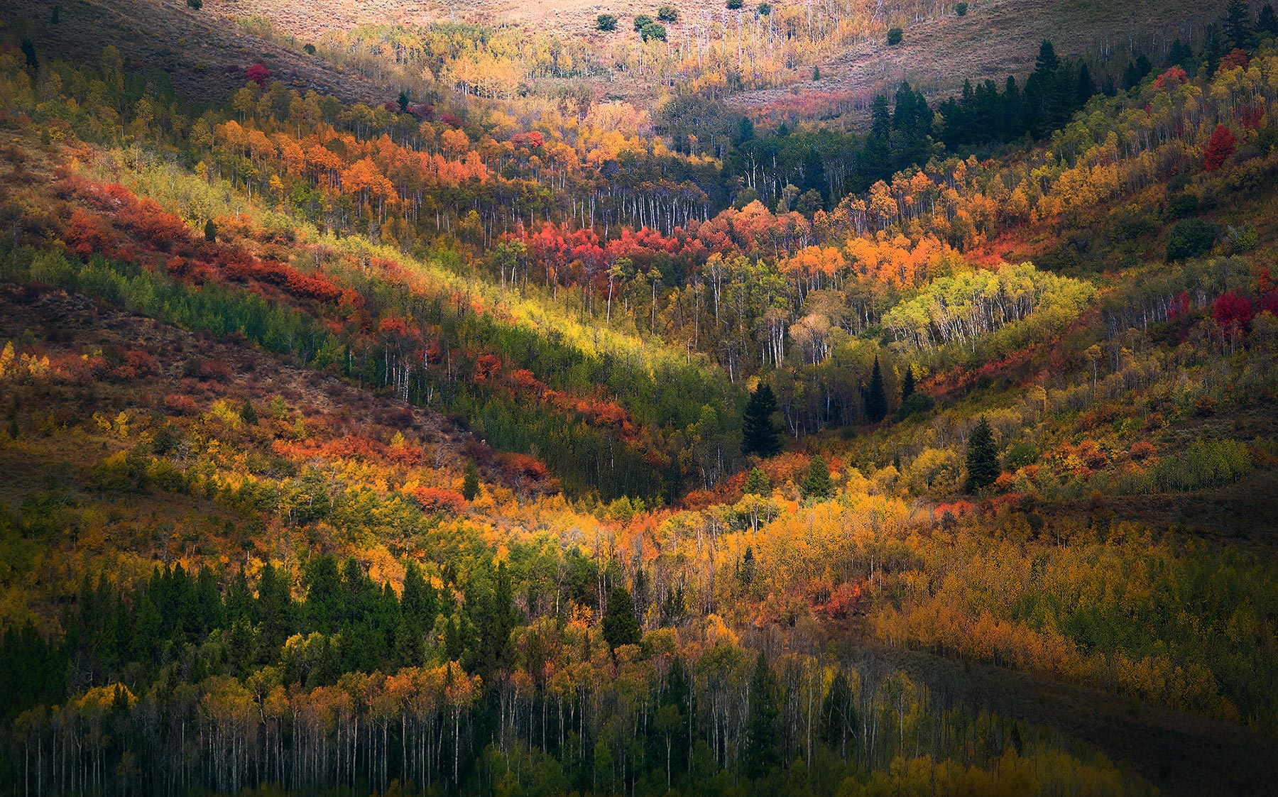 Layers of Aspens in Fall with beautiful light.