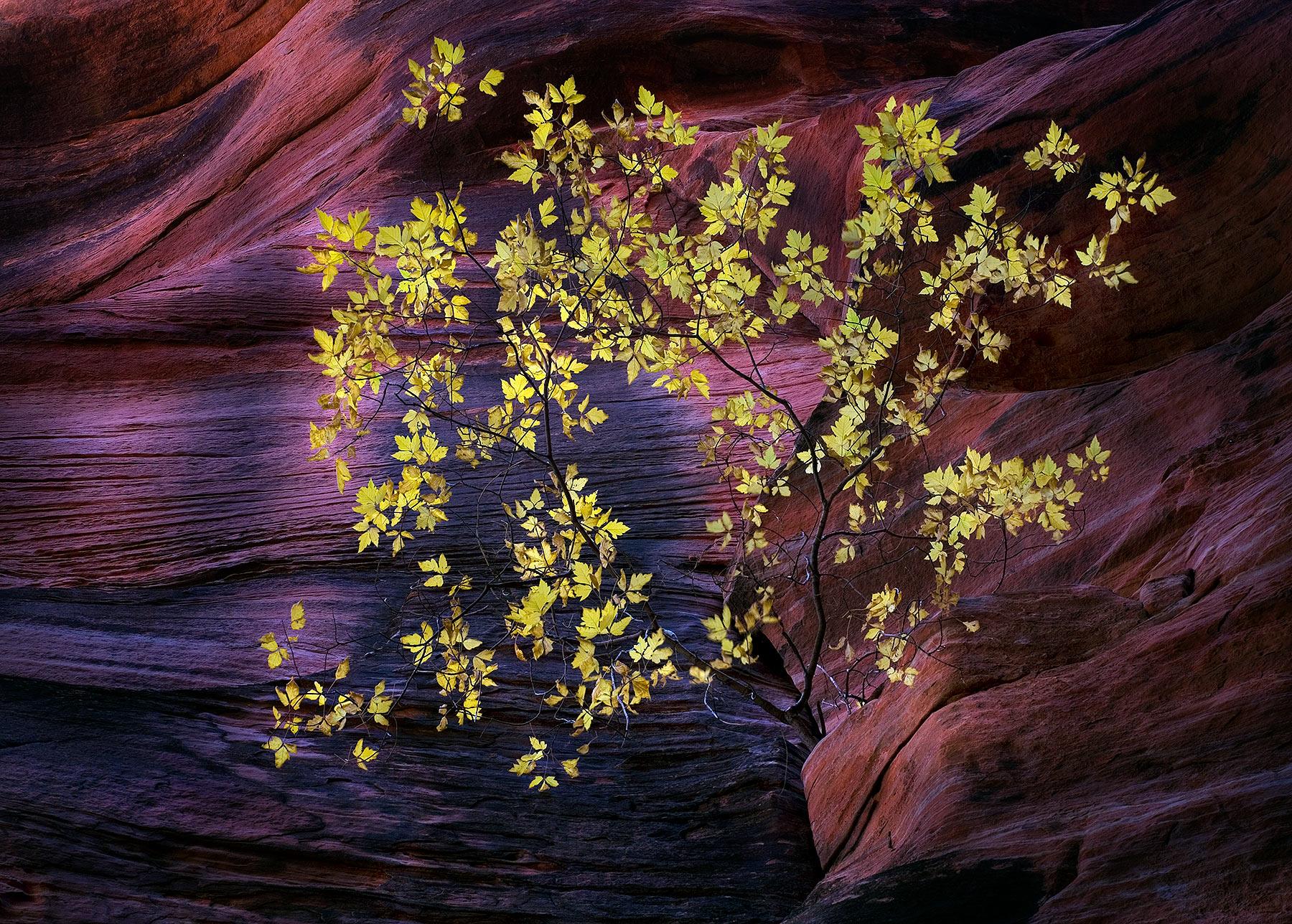maple, tree, lone, slot, canyon, utah, photo