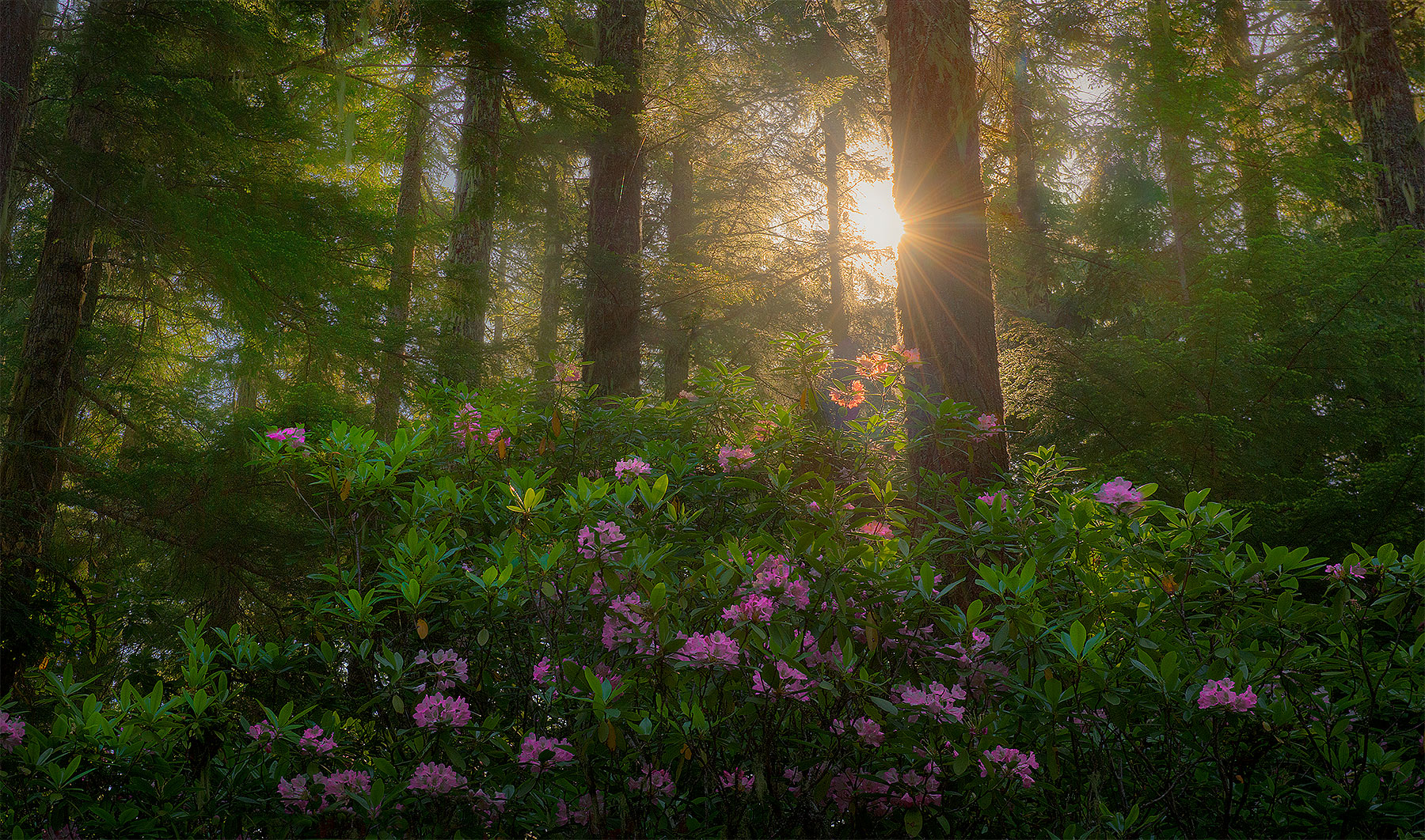 Rhododendron Forest, Willamette National Forest, Oregon