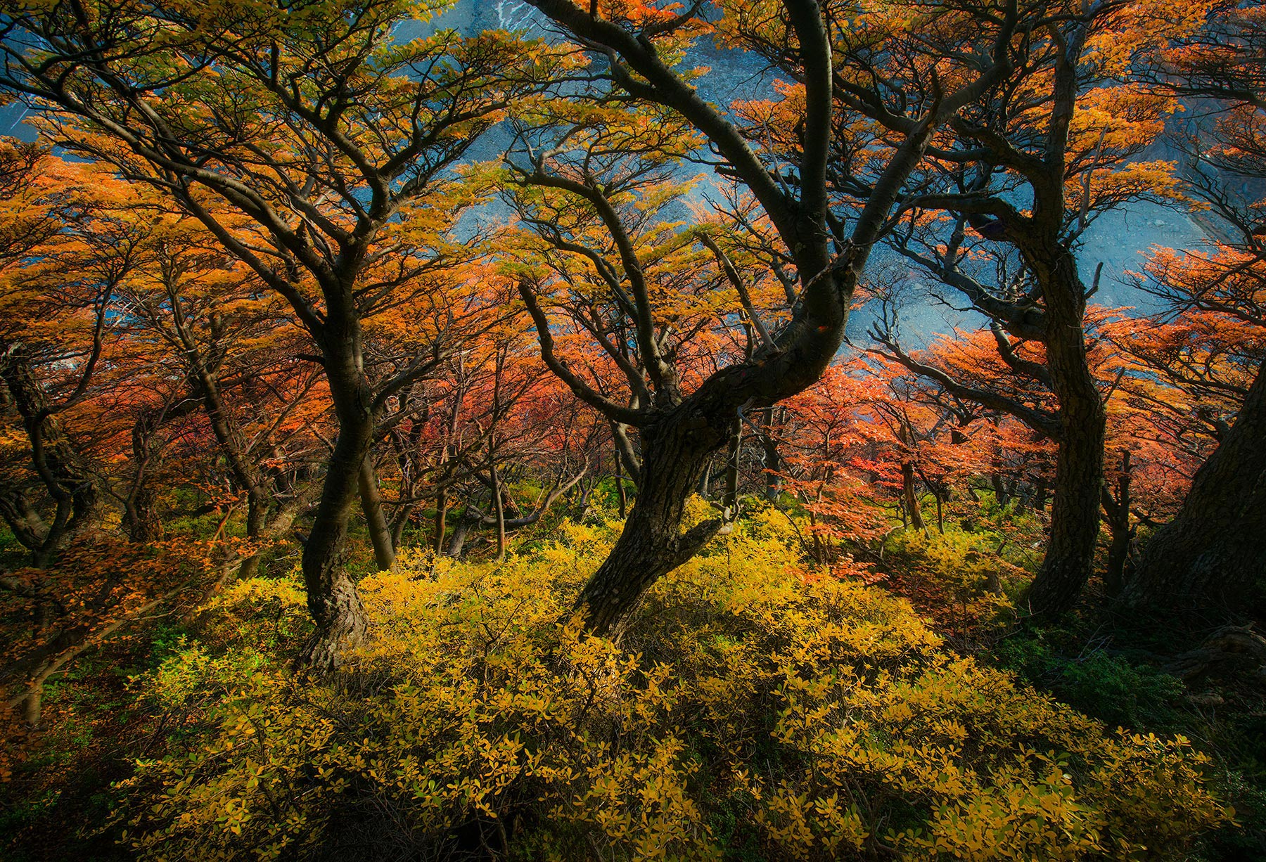 trees, argentina, autumn, fall, beech, photo