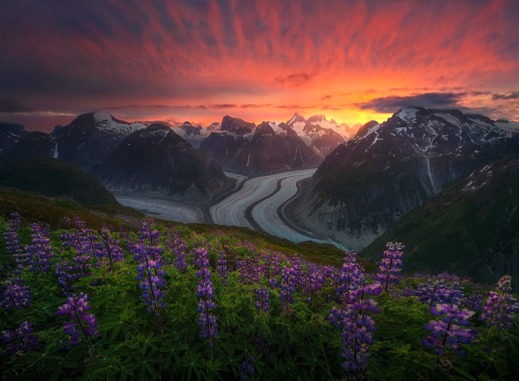 alaska, garden, spring, lupine, flowers, glacier, coast mountains , photo