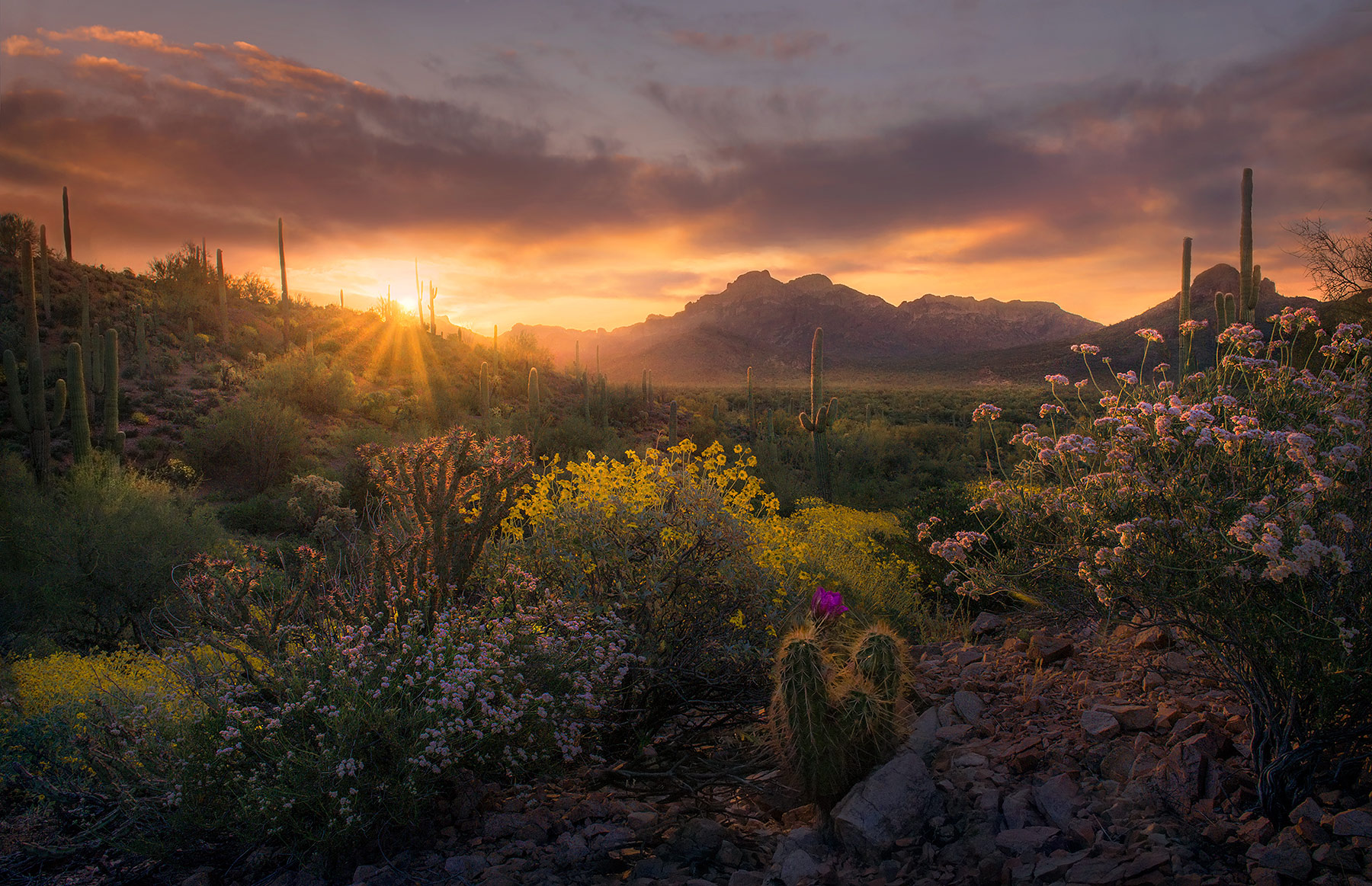 Cactus, Desert, Wildflowers, Spring, Arizona, Superstition, Mountains, photo