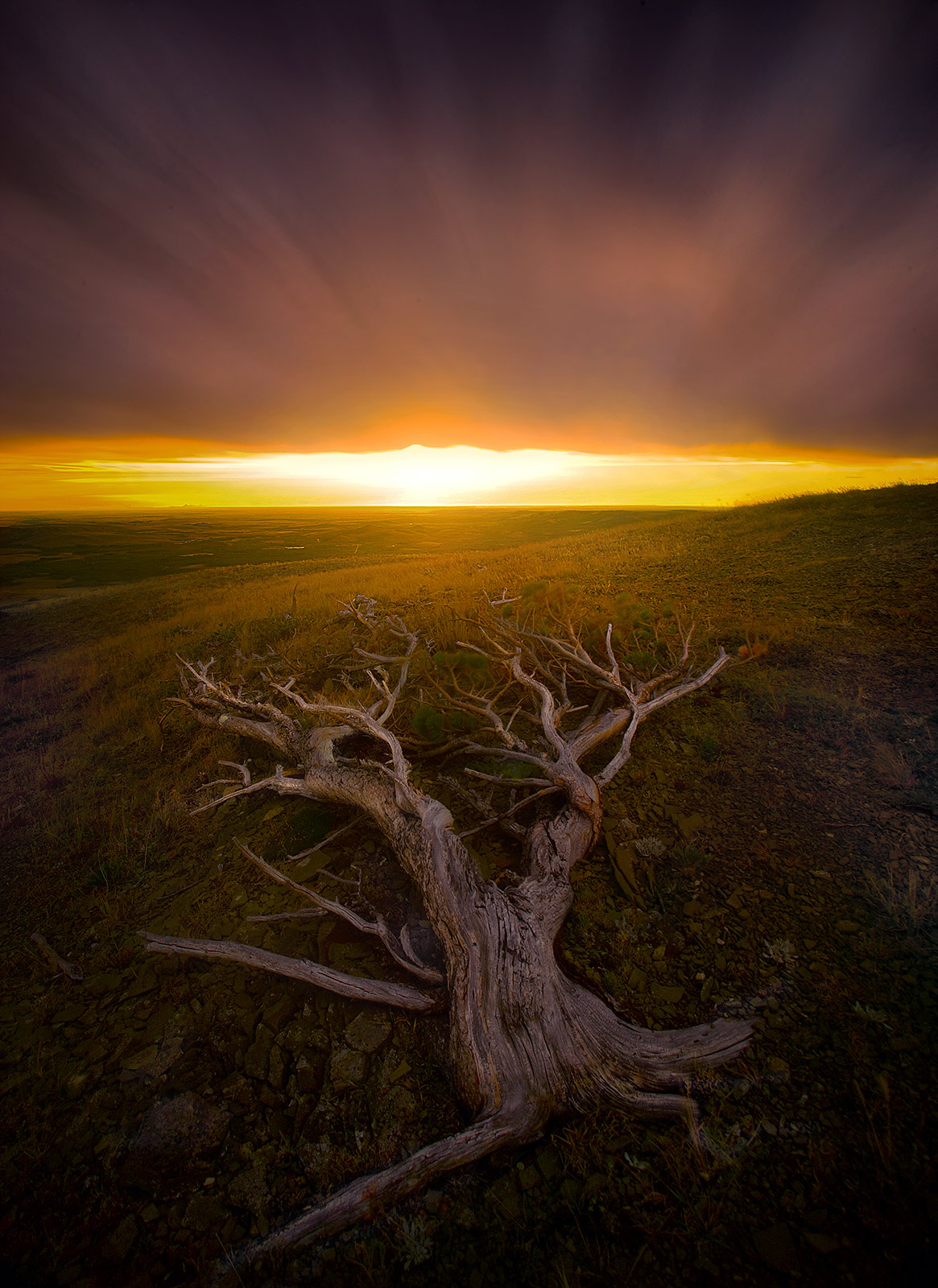 old, tree, windswept, montana, plateau, photo