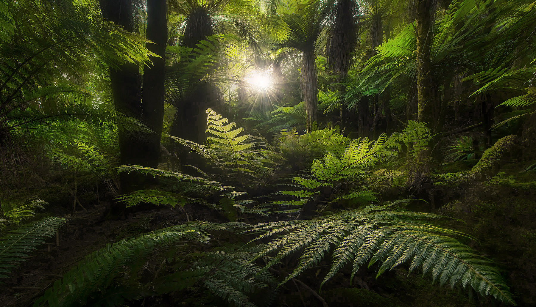 New Zealand, ferns, fern tree, photo