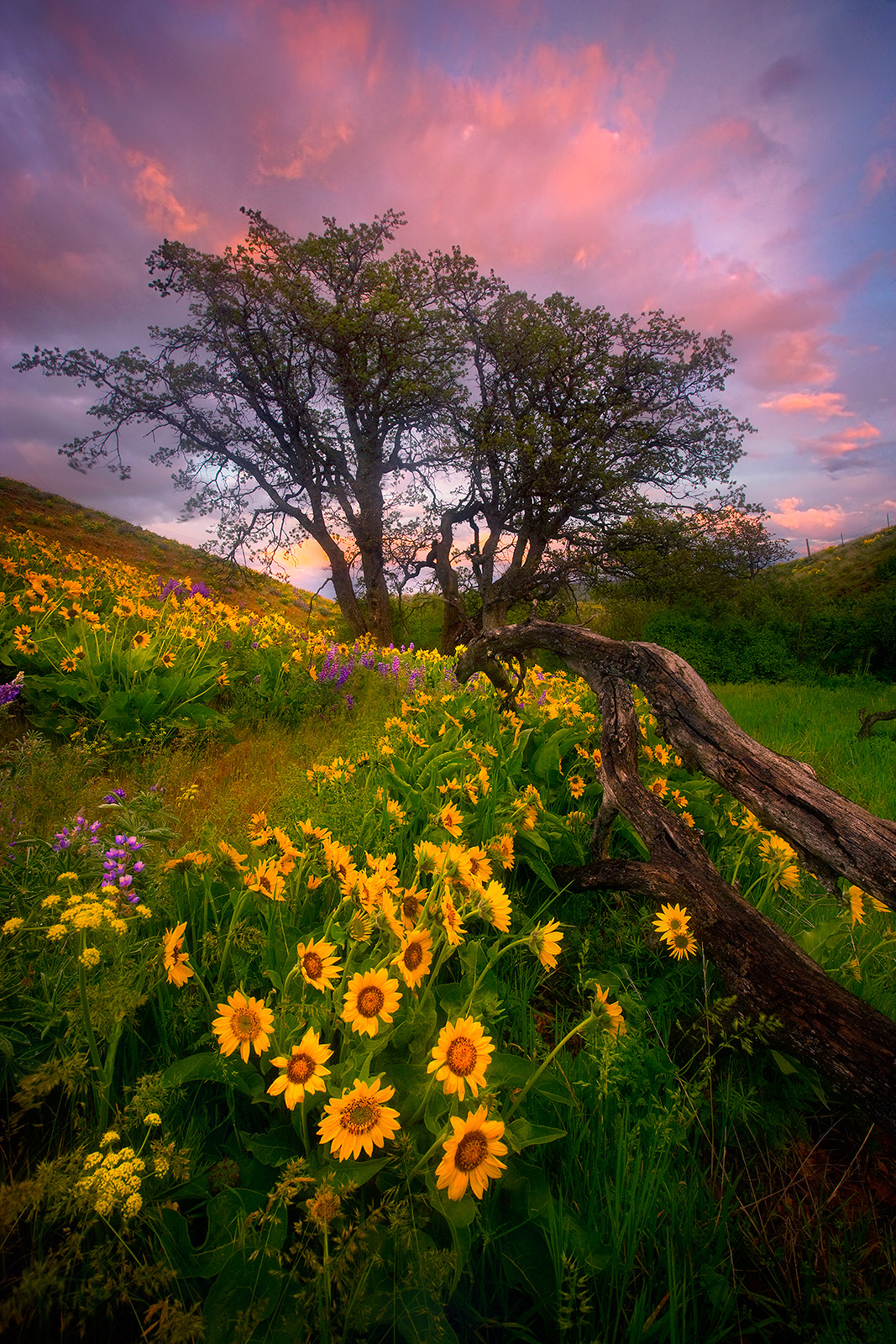 Columbia Hills, Washington, Wildflower, Flower, Balsamroot, Sunset, Beautiful, photo