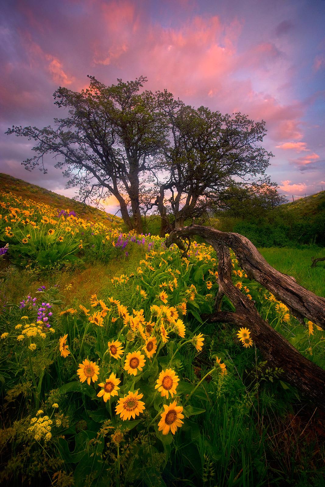 Columbia Hills, Washington, Wildflower, Flower, Balsamroot, Sunset, Beautiful, photo